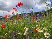 Poppies (Papaver rhoeas), cornflowers (Centaurea cyanus) and chamomile (Anthemis arvensis) near Castellucio di Norcia, Umbria, Italy. July. - Paul  Harcourt Davies