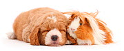 Goldendoodle puppy and Guinea pig. NOT AVAILABLE FOR BOOK USE - Mark Taylor