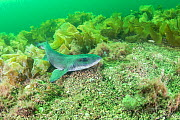 Lesser spotted catshark / Dogfish shark (Scyliorhinus canicula) on a maerl bed in no take zone, South Arran Marine Protected Area, Isle of Arran, Scotland, UK, Augus  -  SCOTLAND: The Big Picture
