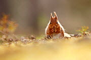 Red Squirrel (Scuirus vulgaris) feeding sitting pine cone covered forest floor, Cairngorms National Park, Highlands, Scotland, UK  -  SCOTLAND: The Big Picture