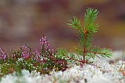 Scots pine (Pinus sylvestris) seedling growing amongst lichens and heather.  Cairngorms National Park. Highlands, Scotland, September. - SCOTLAND: The Big Picture
