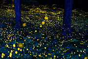 Fireflies (Luciola parvula himebotaru) flashing at night for courtship and reproduction.  Gifu, Japan. Composite image - Tony Wu