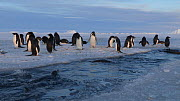 Group of Adelie penguins (Pygoscelis adeliae) swimming in a tide crack, lots jump out, Adelie Land, Antarctica, January. - Fred  Olivier
