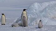 Emperor penguin (Aptenodytes forsteri) chicks calling, with another small chick arriving and falling over, Adelie Land, Antarctica, January. - Fred  Olivier
