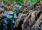 Deciduous forest with Sabinos (Taxodium mucrunatum) with tangled roots, bank of the Rio Cuchujaqui  Sierra Alamos, Mexico. - Jack Dykinga