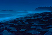 Olive Ridley Sea Turtles (Lepidochelys olivacea) females come ashore during an arribada (mass nesting event) to lay eggs, Pacific Coast, Ostional, Costa Rica. Finalist in Wildlife Photographer of the...