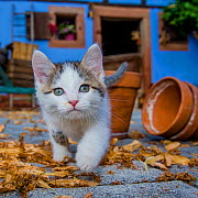 Tabby and white kitten stalking in farmyard, France. - Klein & Hubert