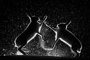 Mountain hares (Lepus timidus) fighting in snow at night, Vauldalen, Norway. ~Joint overall winner of the GDT European Wildlife Photographer of the Year 2017. Highly commended in the Wildlife Photogra...