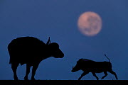 African buffalo (Syncerus caffer) and Warthog (Phacochoerus africanus) at night with full moon, Mkuze, South Africa Third place in the Nature Portfolio category of the World Press Photo Awards 2017. - Bence Mate