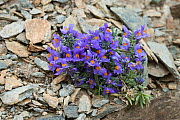Alpine toadflax (Linaria alpina) flowers, Umbrail Pass, Alps, Italy, June.  -  Robert  Thompson