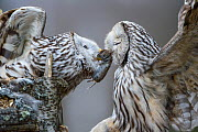 Ural owl (Strix uralensis) feeding mate, Tartu County, Estonia. April Highly commended in the Birds Category of the Terre Sauvage Nature Images Awards 2017. Second Place in the Portfolio category of t...