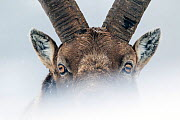 Alpine ibex (Capra ibex) close-up portrait. Gran Paradiso National Park, the Alps, Italy. January. Highly commended in the Portfolio category of the Terre Sauvage Nature Images Awards 2017.