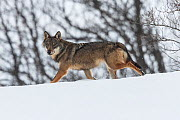 Wild Apennine wolf (Canis lupus italicus) in snowy landscape. Central Apennines, Abruzzo, Italy. February. Italian endemic subspecies. - Bruno D'Amicis