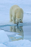 Polar bear (Ursus maritimus) standing on pack ice at the water's edge, Svalbard, Norway. June. - Andy Rouse