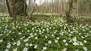 Tracking shot of Wood anemones (Anemone nemorosa) flowering in woodland, Bristol, England, UK, April.  -  Michael Hutchinson