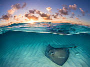 RF - Southern stingray (Dasyatis americana) swimming over sand in shallow water at dawn,  Cayman Islands, Caribbean Sea. (This image may be licensed either as rights managed or royalty free.) - Alex Mustard