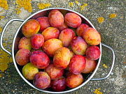 Bowl of Victoria plums (Prunus domestica) during harvest. in garden. England, UK, August.  -  Ernie  Janes
