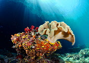 Leather coral (Sarcophyton sp.), on a rock with soft corals and Yellow Sea Cucumbers (Colochirus robustus), Triton Bay, near Kaimana, West Papua, Indonesia - Linda Pitkin