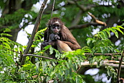 White bellied spider monkey (Ateles belzebuth) mother with young on tree, captive occurs in South America.  -  Aflo