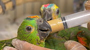 Close-up of a carer feeding a Blue fronted amazon (Amazona aestiva), confiscated from illegal wildlife trade, Brazil.  -  David Perpinan