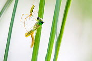 Long jawed orb weaver spider (Tetragnatha extensa) catching  Emerald damselfly (Lestes sponsa) as it emerges from its nymph exoskeleton, Hondenven, Tubbergen, the Netherlands, July. - Theo  Bosboom