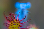 Common blue damselfly (Enallagma cyathigerum)  trapped in Sundew plant (Drosera), Hondenven, Tubbergen, the Netherlands, August , - Theo  Bosboom