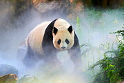 Giant panda (Ailuropoda melanoleuca) female, Huan Huan, out in her enclosure in mist, Captive at Beauval Zoo, Saint Aignan sur Cher, France  The mist is created artificially by machine, in order to cr...  -  Eric Baccega