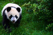 Giant panda (Ailuropoda melanoleuca) cub exploring during its outings in the enclosure. Yuan Meng, first giant panda ever born in France,  age 10 months, Captive at Beauval Zoo, Saint Aignan sur Cher,...  -  Eric Baccega
