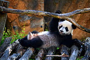 Giant panda (Ailuropoda melanoleuca) cub playing on wooden structure. Yuan Meng, first giant panda ever born in France,  age 10 months, Captive at Beauval Zoo, Saint Aignan sur Cher, France  -  Eric Baccega