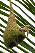 Baya weaver (Ploceus philippinus) on its nest in Tongbiguan Nature Reserve, Dehong prefecture, Yunnan province, China. May  -  Staffan Widstrand / Wild Wonders of China