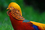 Golden pheasant (Chrysolophus pictus) male displaying in grass in Yangxian Nature Reserve, Shaanxi, China, September. - Staffan Widstrand / Wild Wonders of China