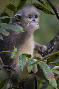 Young Yunnan snub-nosed monkey (Rhinopithecus bieti) sitting in a tree in Ta Cheng Nature reserve, Yunnan, China. October - Staffan Widstrand / Wild Wonders of China