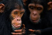 Eastern chimpanzee  (Pan troglodytes schweinfurtheii) juvenile female 'Fadhila' aged 5 years and her brother 'Fifty' aged 3 years playing together.Gombe National Park, Tanzania. - Fiona Rogers