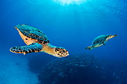 Hawksbill turtle (Eretmochelys imbricata) pair circling each other above coral reef. Seven Mile Beach, Grand Cayman, Cayman Islands, British West Indies. Caribbean Sea. - Alex Mustard