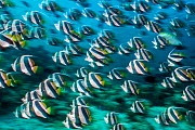RF -  Bannerfish (Heniochus diphreutes) schooling in coral reef. Long exposure. North Male Atoll, Maldives. Indian Ocean. (This image may be licensed either as rights managed or royalty free.) - Alex Mustard