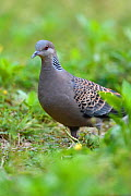 Oriental turtle dove (Streptopelia chinensis), walking on grass in Yangxian Biosphere Reserve, Shaanxi, China, April. - Staffan Widstrand / Wild Wonders of China