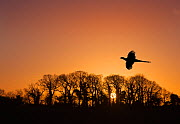 Pheasant (Phasianus colchicus) male flying to roost at sunset with trees silhouetted  in background England, UK. December. - Ernie  Janes