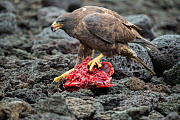 Galapagos hawk (Buteo galapagoensis) scavenging on tuna. A group of the sea lion bulls have learnt to herd Pelagic yellowfin tuna into a small cove, trapping them. The fish often leap ashore in an eff... - Tui De Roy