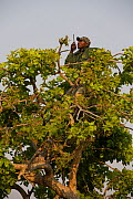 Conservationist making radio call from tree in Shoebill (Balaeniceps rex) habitat, Bengweulu Swamp, Zambia. - Cyril Ruoso