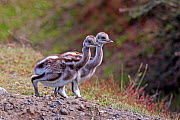 Greater Rhea (Rhea americana) chicks, Torres del Paine National Park, Patagonia, Chile. - Sylvain Cordier