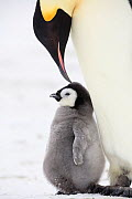 Emperor penguin (Aptenodytes forsteri) feeding chick, Weddell Sea, Antarctica.  -  Sue Flood