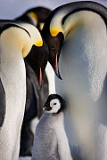 Emperor penguins (Aptenodytes forsteri) with young chick at Snow Hill Island rookery, Antarctica. October.  -  Sue Flood