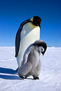 Emperor penguin (Aptenodytes forsteri) walking with young chick at Snow Hill Island rookery, Antarctica. October.  -  Sue Flood