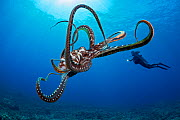 Day / Big blue octopus (Octopus cyanea) with diver in background. Hawaii. September 2012. - David Fleetham