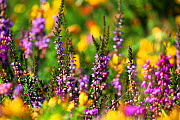 Heather (Calluna vulgaris) in flower, Dartmoor, England, UK. August.  -  Oliver Hellowell