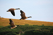 Canada geese (Branta canadensis) in flight at Abbotsbury Swannery, Abbotsbury, Dorset, England, UK. August 2014  -  Oliver Hellowell