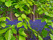 Bluebells (Hyacinthoides non-scripta) and Beech (Fagus sylvatica) leaves, England, UK, May. - Ernie  Janes