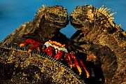 Sally lightfoot crab, (Grapsus grapsus), feeding on marine iguana parasites and dead skin, Galapagos - Andy Rouse