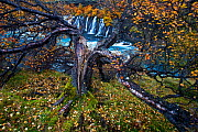 Birch tree (Betula sp) next to waterfall, Iceland. Runner-Up in the Plants category of the International OasisPhotoContest 2018 - David Allemand