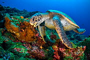 Galapagos green turtle (Chelonia mydas agassizii) swims over a coral reef. Darwin Island, Galapagos National Park, Galapagos Islands. East Pacific Ocean.  -  Alex Mustard